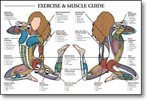 muscle, fitness & exercise charts, Muscles